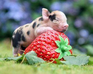 Bilder - german.china.org.cn - Das glückliche Leben der süßen Mini-Schweine