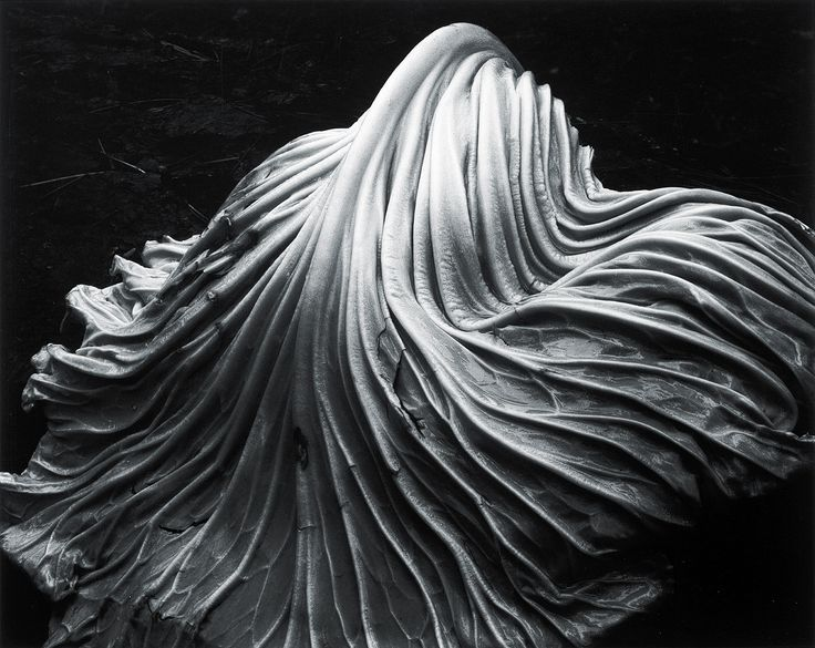 | cabbage leaf | black and white photograph by Edward Weston - 1931