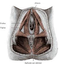 Περίνεο είναι η επιφάνεια ανάμεσα στην ηβική σύμφυση και στον κόκκυγα και των δύο φύλων. Είναι η μικρή εκείνη περιοχή (2.5-3 τ.έ.) η οποία εκτείνεται από τα έξω γεννητικά όργανα μέχρι το πρωκτό. Έχει σχήμα ρομβοειδές και μυική λειτουργία ώστε να σταματάει τη εκροή των ούρων ή του σπέρματος. Αναφέρεται και ως δεύτερο διάφραγμα γιατί συμμετέχει στη σύσπαση του εγκάρσιου κοιλιακού μύ, παίζοντας σημαντικό ρόλο και στην αναπνευστική λειτουργία.