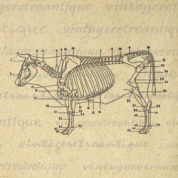 Cow Skeleton Diagram Printable Digital Graphic Download Image Illustration Vintage Clip Art for Transfers Printing etc HQ 300dpi No.1940 @ vintageretroantique.etsy.com #DigitalArt #Printable #Art #VintageRetroAntique #Digital #Clipart #Download