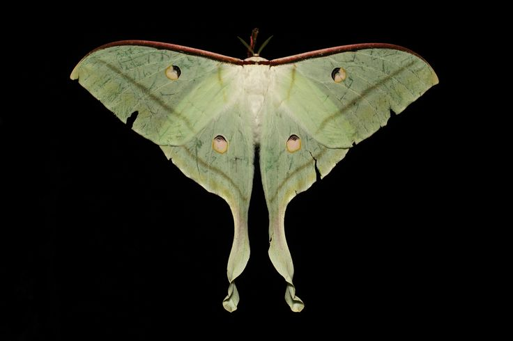 https://flic.kr/p/nVKbmu | Female Indian Moon Moth (Actias selene, Saturniidae) | On this night out in the Pu'er hills with the MV light, I was visited by not one, but two, female Moon Moths simultaneously.  It was getting late and was starting to drizzle rain, so I had already packed up the camera and dismantled my sheet leaving the light on so I could see what I was doing.  Typical of the Saturniids, they are erratic flyers and crash and flap frantically where ever they land which is why…