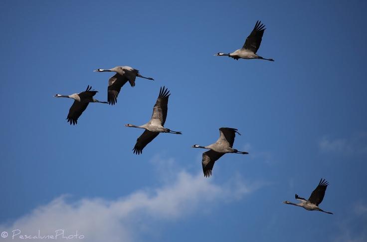 Grue cendrée (Grus grus), Common Crane