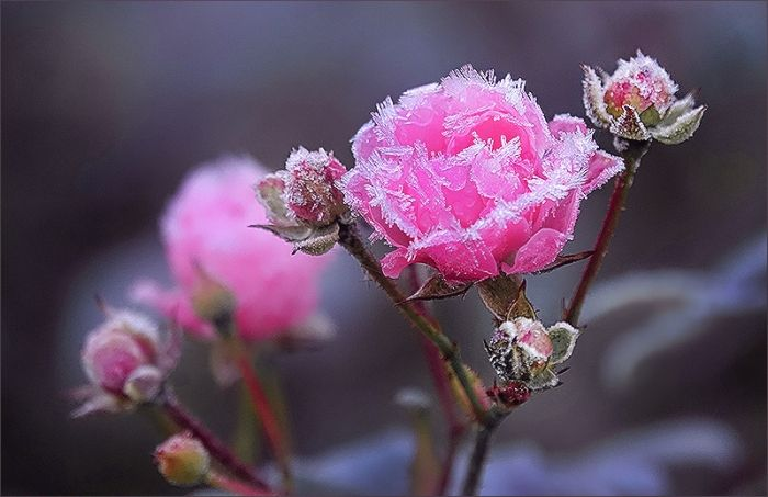 Vierter Advent: Rose mit Raureif - Jahreszeiten - Galerie - Community