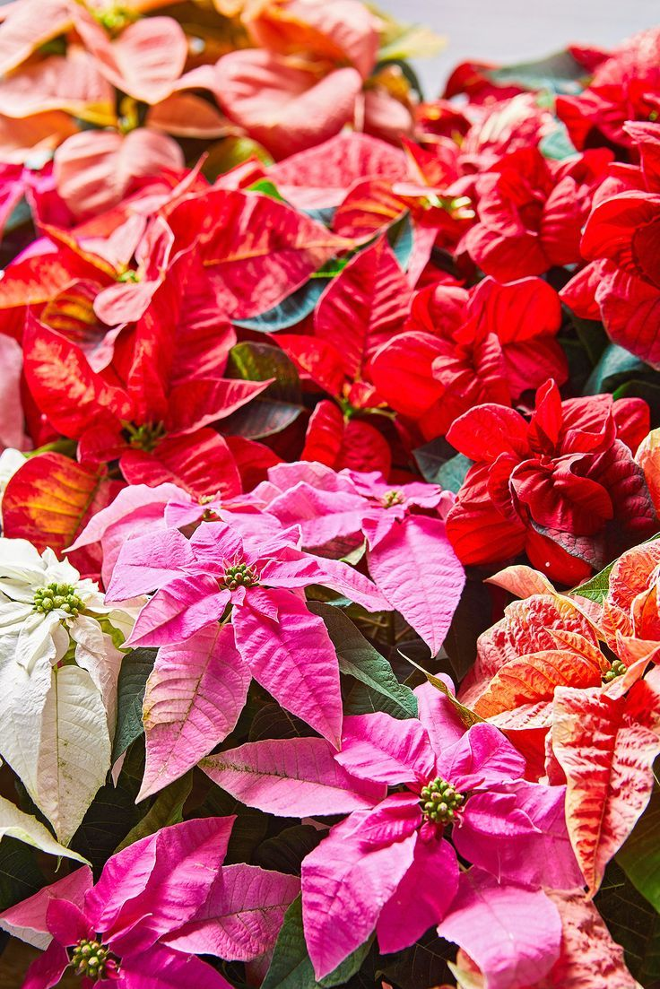 Here S How To Have The Most Beautiful Poinsettias Plants That Like Shade Flower Pot Design Poinsettia
