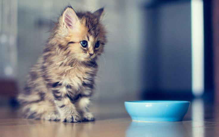 Kitten-Blue-Bowl.jpg (1920×1200)