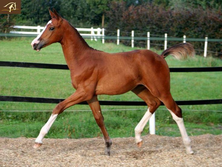 #HORSES - Warmblood Amazing - Foal horse