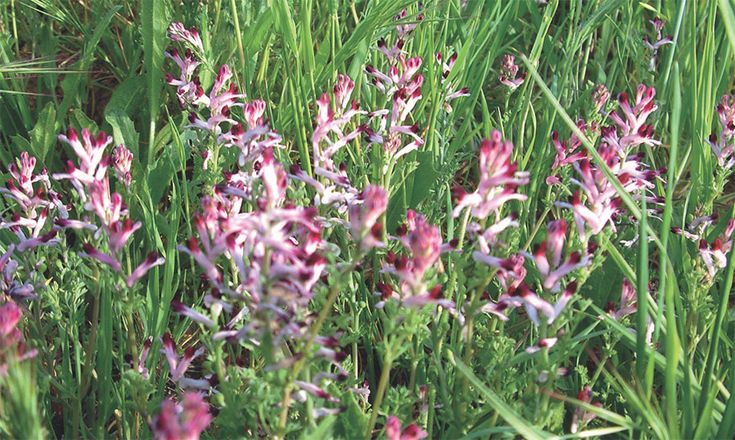 Fumitory clears the liver and purifies the body