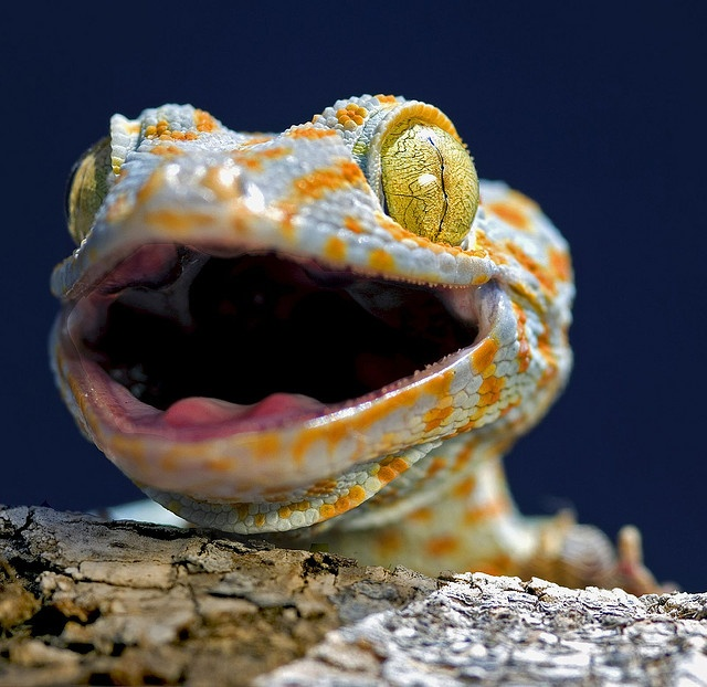 53 best images about Tokay Geckos on Pinterest | Powder ...