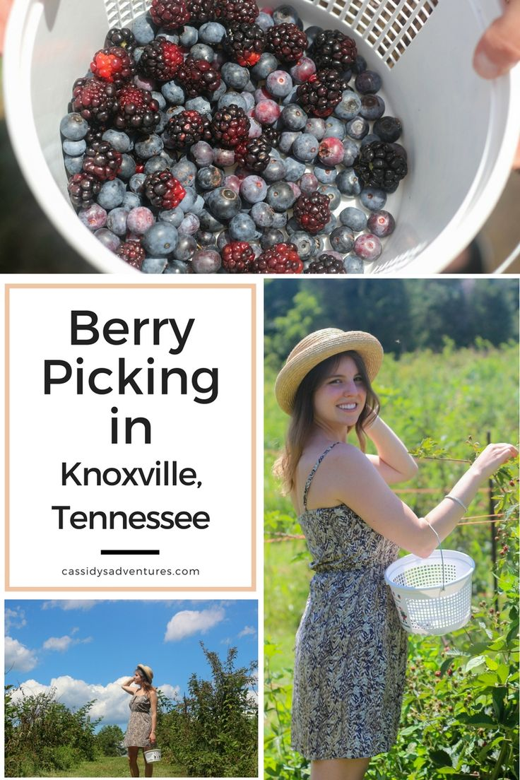 If you have never picked your own fruit or berries, The Fruit and Berry Farm in Knoxville, Tennessee is the place to go! It's a wonderful experience for the whole family and kids absolutely love it. They have blueberries and blackberries in the summer, peaches in late summer, and apple picking in the fall!