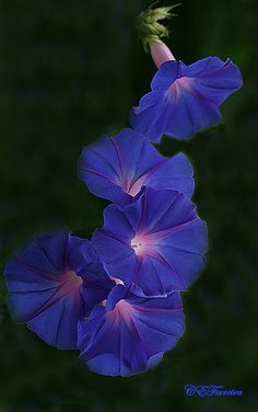 """morning glory -- """"The morning glory flower blooms and dies within a single day. In the Victorian meaning of flowers, morning glory flowers signify love, affection or mortality.""""  Ehow.com"""