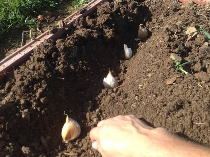 Como sembrar ajos en el huerto.  En este nuevo vídeo, Toni Frito nos enseña como y cuando tenemos que sembrar ajos en nuestro huerto. Descubre los grandes beneficios de los ajos. Leer mas http://ecoinventos.com/como-sembrar-ajos/