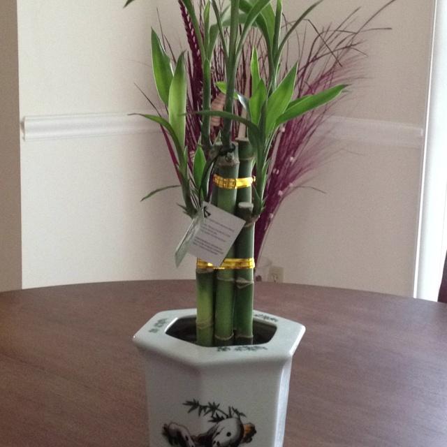 1000 images about bamboo plants indoor on pinterest ceramic vase glass vase and bamboo. Black Bedroom Furniture Sets. Home Design Ideas