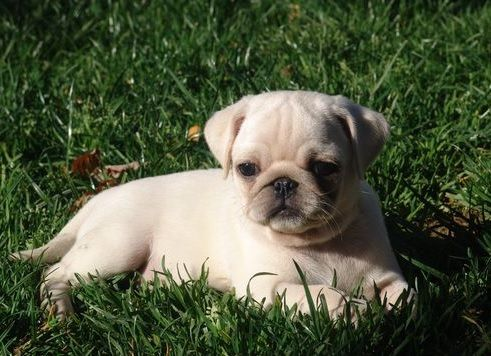 Cute White Pug Puppy. Never knew they had white pugs