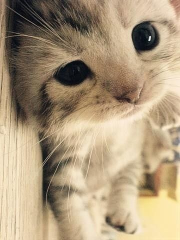 Cute!!  ͛꒰ू ऀ•̥́ꈊ͒ੁ•ૅू॰˳ऀ꒱ ͟͟͞  ̊ ̥  ̥Kitty Cats, Cute Cats, Big Eyes, Cute Kitty, Baby Kittens, My Heart, Cute Babies, Cute Kittens, Baby Cat
