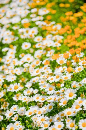 daisies are the friendliest flowersBeautiful Flower, Summer Daisies, Daisies Chains, Wildflowers Meadow, Spring Daisies, In A Daisies Fields, Meg Ryan, Daisies Beautiful Softskills, Honey Bees