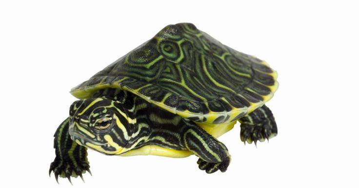 ¿Qué comen las tortugas de orejas rojas?. La tortuga de orejas rojas es la mascota más popular en los Estados Unidos. En su vida silvestre, estos reptiles omnívoros cazan a sus presas y disfrutan de los invertebrados, como gusanos, y también de plantas acuáticas y de tierra. En cautiverio, necesitas asegurarte de que tu tortuga tenga una dieta variada y suplementos vitamínicos para que ...