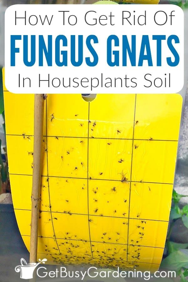 How To Get Rid Of Fungus Gnats In Houseplants Soil In 2020 Plant Pests Houseplants Gnats In House Plants