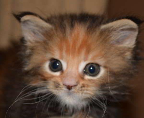 Maine coon kittens in az