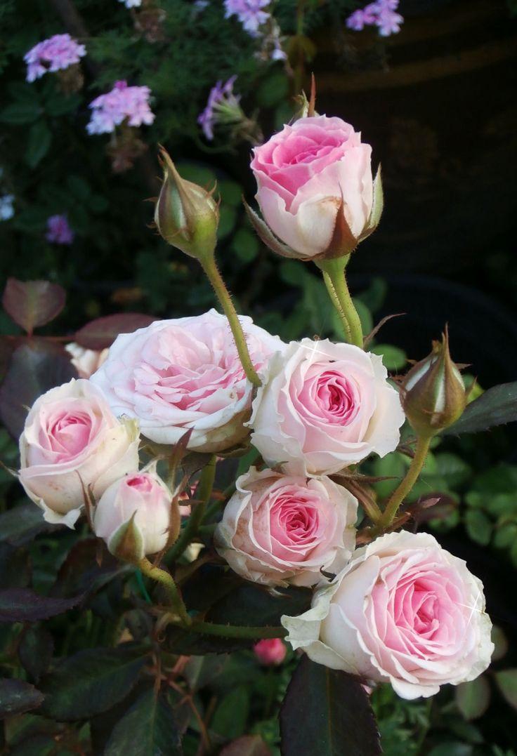 23 best mimi eden rose images on pinterest eden rose beautiful roses and climbing roses. Black Bedroom Furniture Sets. Home Design Ideas