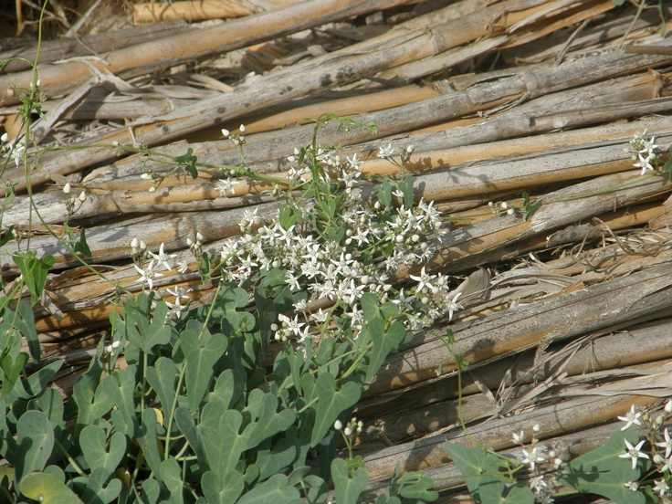 cañas en el Parque Natural del Hondo, Elx-Crevillent