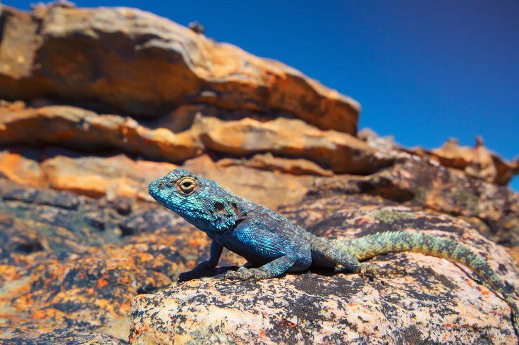 A colourful lizard