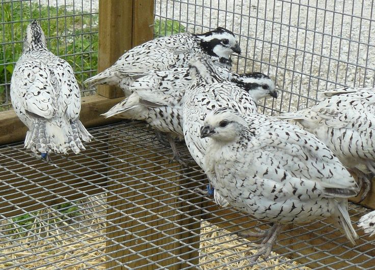 Snow Flake variety of Bobwhite Quails. They are so pretty!