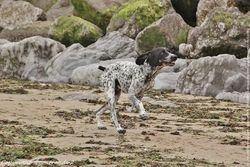 10 Photos de Braque Allemand wallpaper chien animal