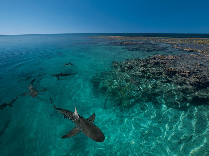 Photograph by Thomas P. Peschak Galápagos sharks, though named for the islands that furnished Darwin with insights into evolution, are found around tropical oceanic reefs worldwide. Almost all the sharks in the protected lagoon at Bassas da India are Galápagos sharks; the lagoon is thought to be a nursery for the species.