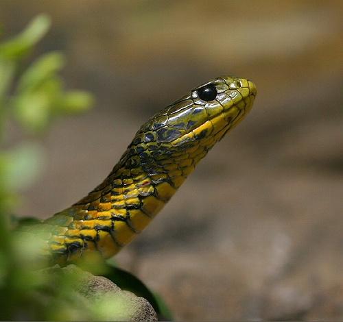 Tiger Snake - Australia