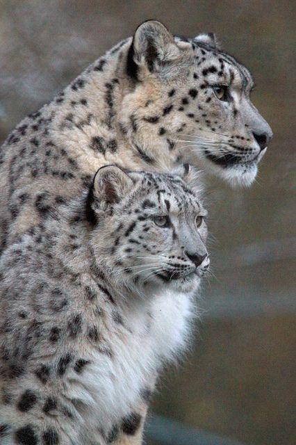 Snow Leopards (Panthera uncia) China, India, Russia and Central Asia