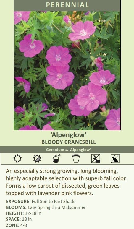 Geranium sanguineum Alpenglow. Good fall color, long bloom, ground cover. 30 ct flat for $160.