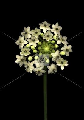 Ornithogalum flowers