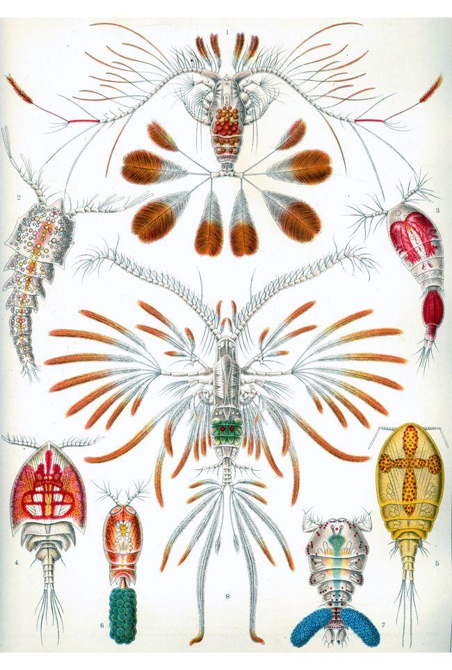 Zooplankton - Ernst Haeckel