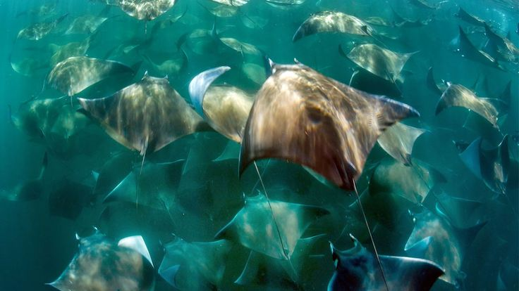 Stingray Migration Swarms Couple In Mexico