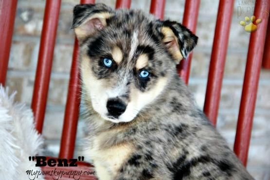 Benz - Pomsky Puppy for Sale in bowling green, KY | Lancaster Puppies