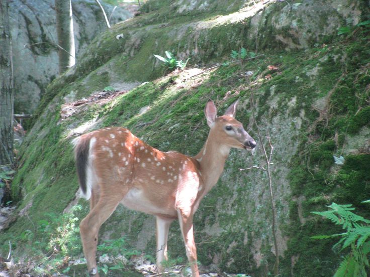 One of the many White-tailed deer.