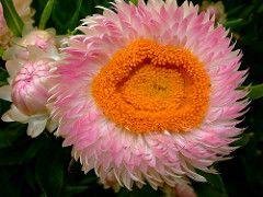 Bracteantha bracteata (yewchan) Címkék: virágok kert kertészkedés virágok virágok természet szépségét gyönyörű színek növényvilág vibráló szép közeli Bracteantha bracteatum bracteanthabracteata strawflower everlastingdaisy