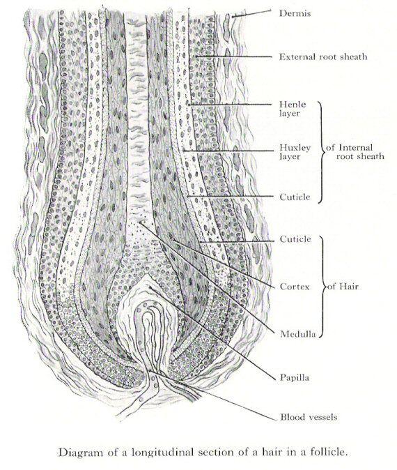 Hair Follicle Model Labeled Manual Guide