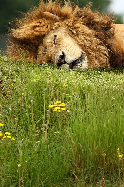 "Lion @YorkshireWP by incheye1971 on Flickr. ""I SHOULD NEVER HAVE HAD THAT 5th VODKA !"" RP BY HAMMERSCHMID"
