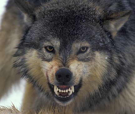 Best 20+ Wolf growling ideas on Pinterest