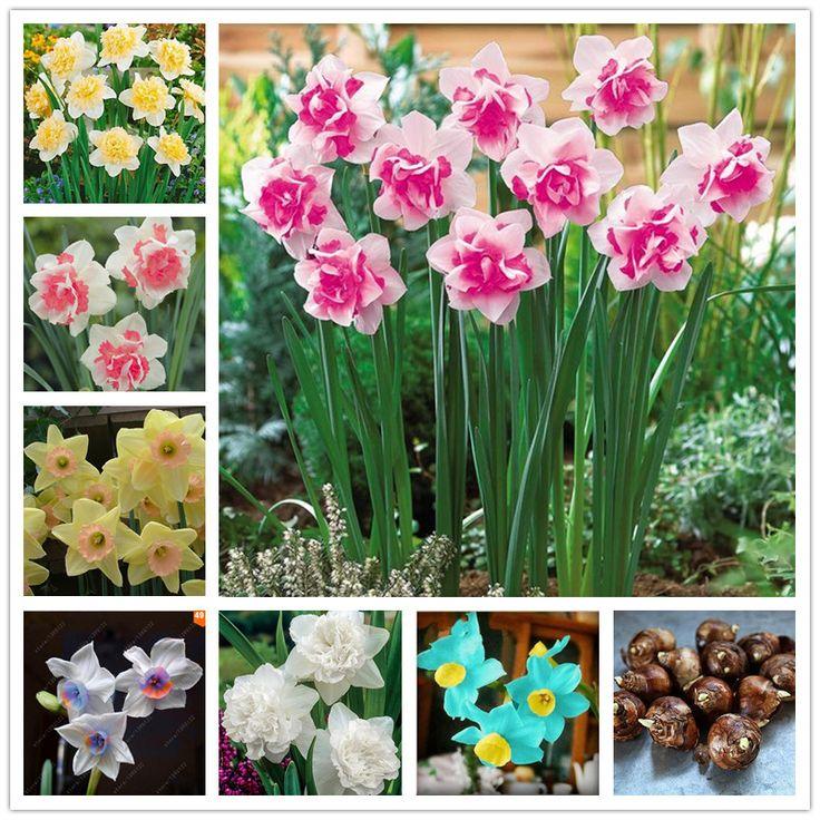 Vrai Narcisse ampoules, bulbes de jonquilles bonsaï bulbes de fleurs Plantes Aquatiques Double Pétales Absorption Rayonnement plante en pot-1 ampoule