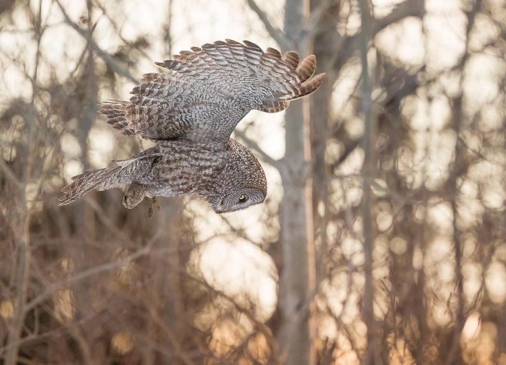Many owl species, like the Great Gray Owl, have ...