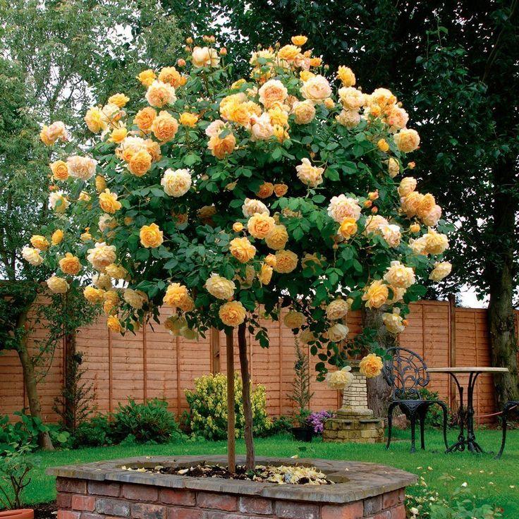 Штамбовые розы– это не вид розы и не сорт, а просто искусственная форма, созданная в результате прививки сортовой розы на стебель шиповник...