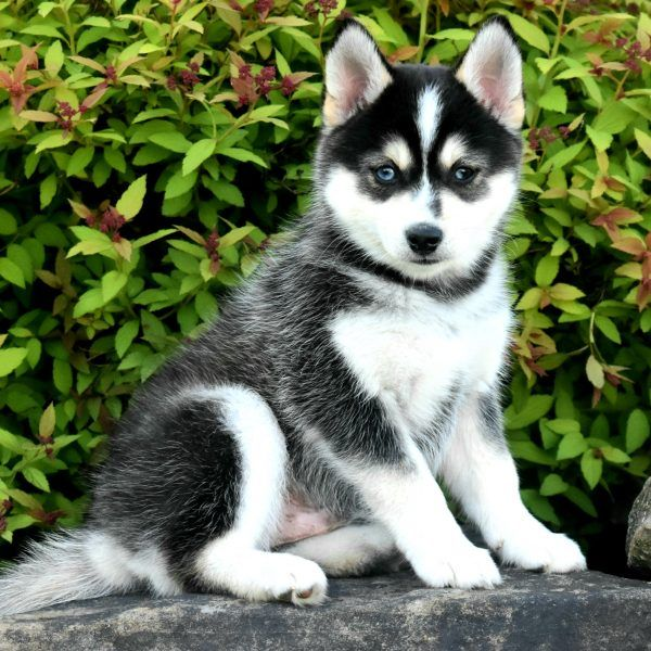 Toto Pomsky Puppy For Sale In Ohio Pomsky Puppies Pomsky
