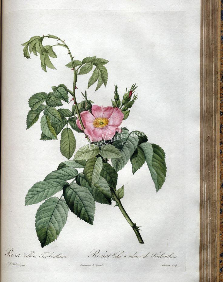 rosa villosa terebenthina      ...
