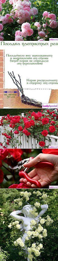 Плетистая роза: посадка и уход - Женский журнал LadySpecial.ru