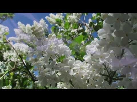 """Secret Garden """"Adagio"""" Когда цветет сирень..."""