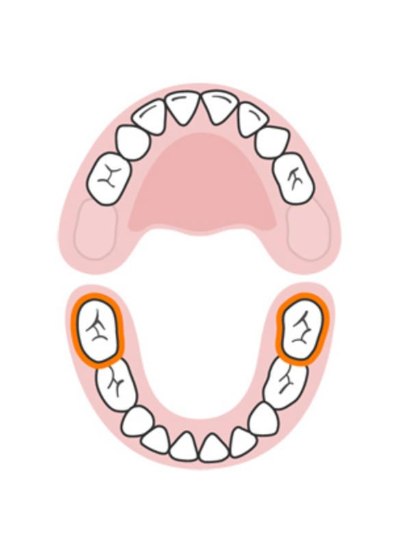 Lower second molars | Baby teeth: Order of appearance
