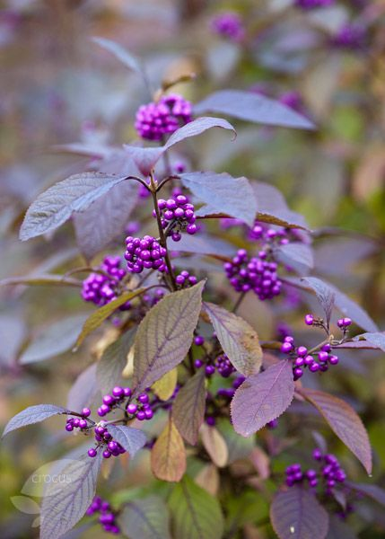 Buy beauty berry Callicarpa bodinieri var. 'giraldii Profusion': Delivery by Crocus