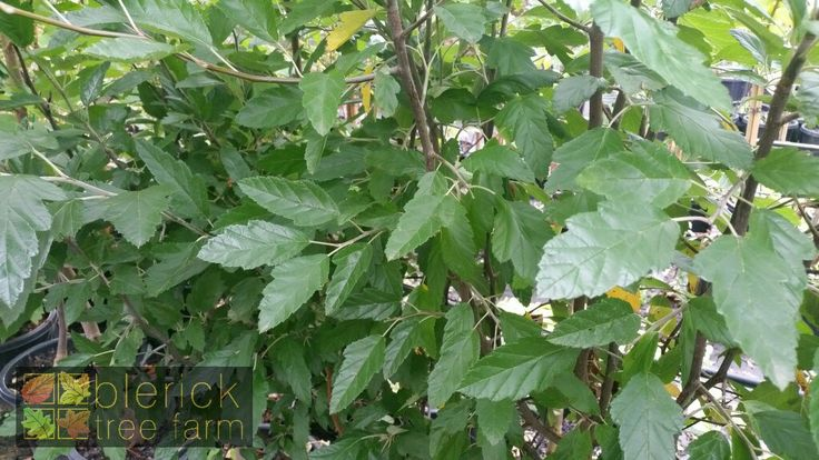 Malus ioensis 'Plena' – Flowering Crab Apple – Purchase Bare Rooted Trees Online